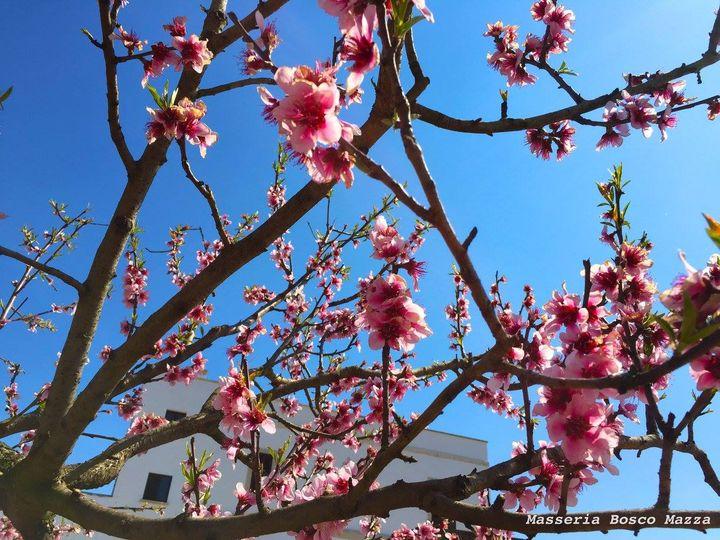 """""""Fiori rosa... fiori di pesco..."""" al cospetto della Masseria"""