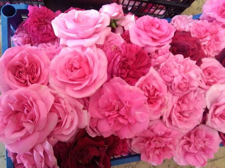 È iniziata la raccolta delle rose!